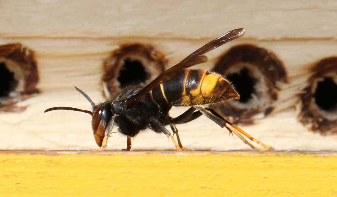 NI Beekeepers & Public Urged To Lookout For Asian Hornets