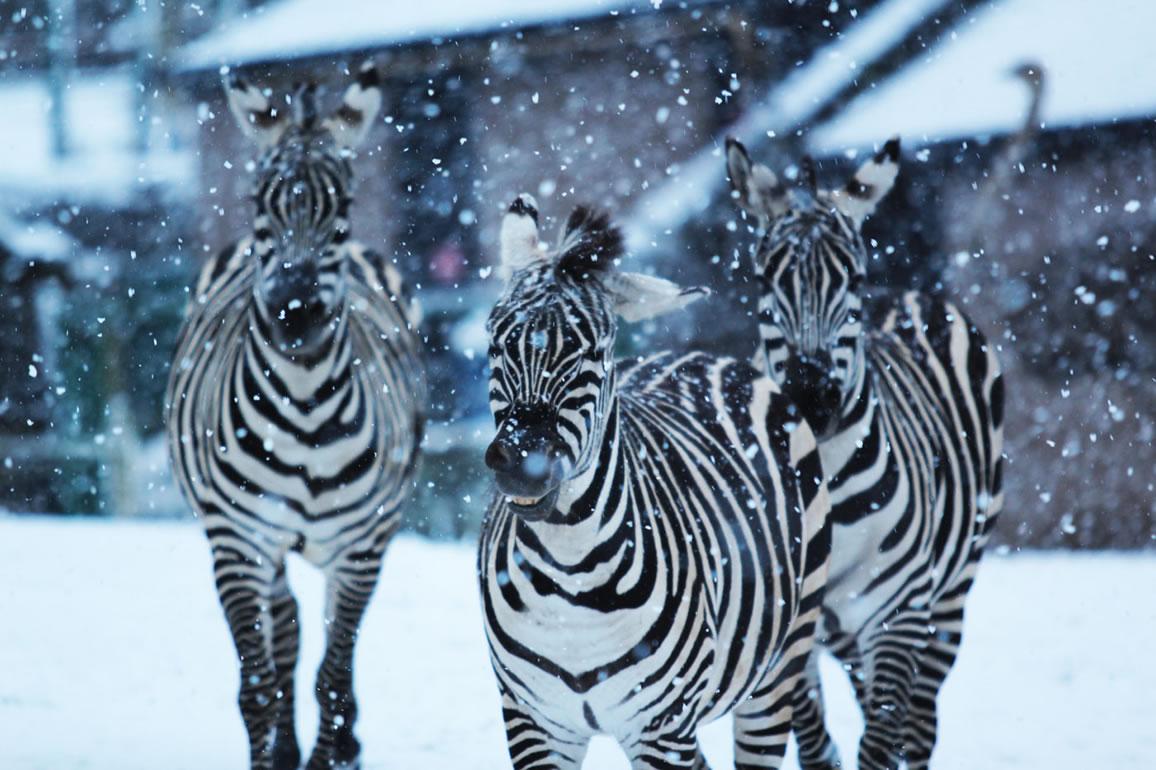 Freeze Closes Belfast Zoo