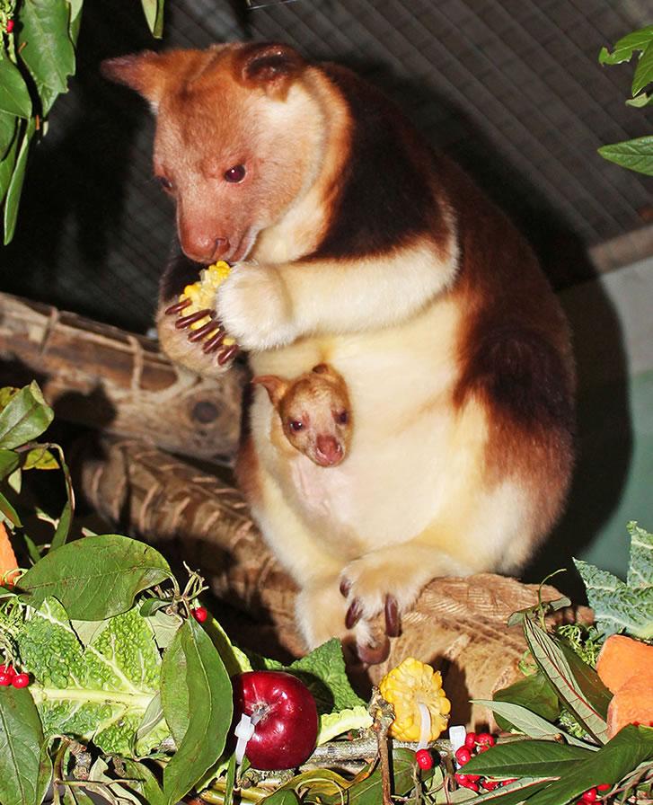 Belfast Zoo's 'JOEY' This Christmas