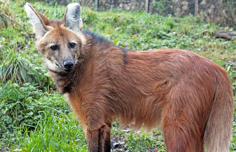 Belfast Zoo Maned Wolf