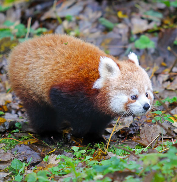 It's 'panda-monium' as Belfast Zoo celebrates birth of twin red pandas!