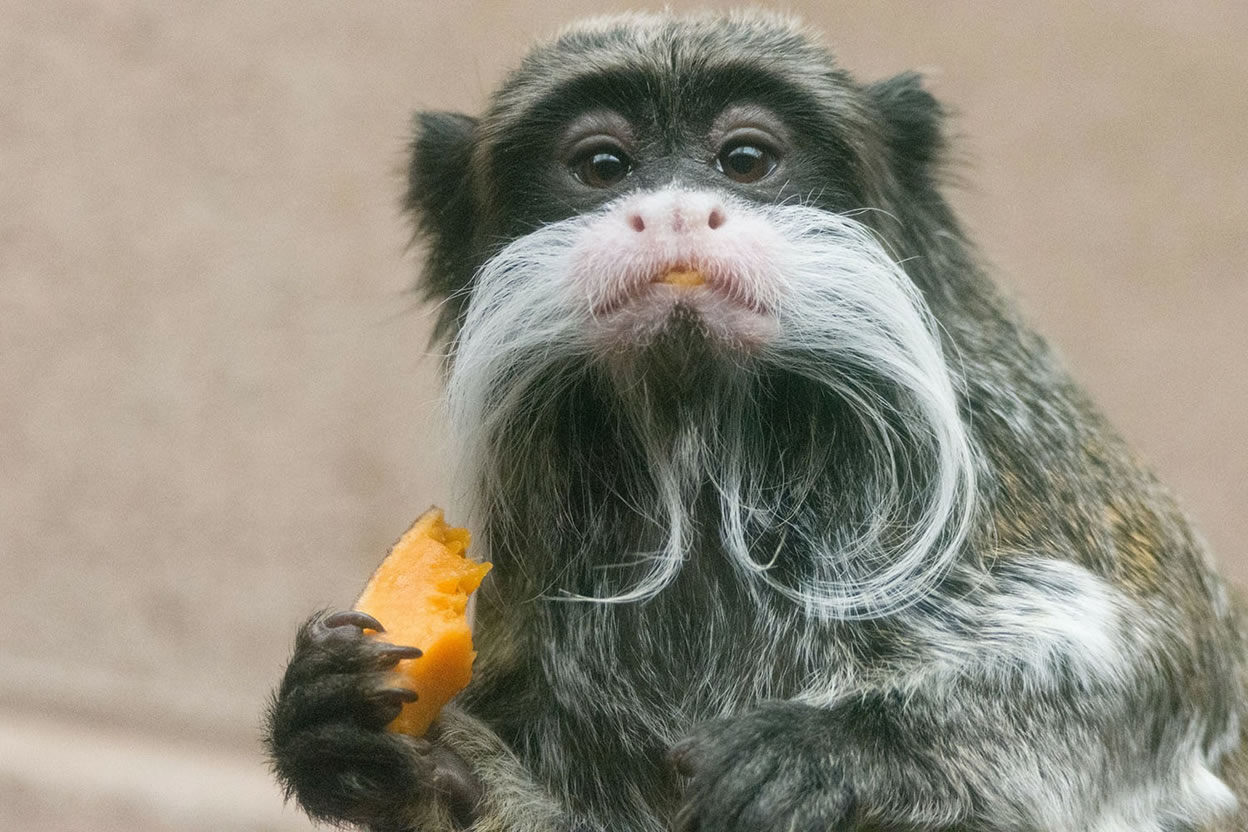 Category B highly commended - emperor tamarin by Lesley Barke