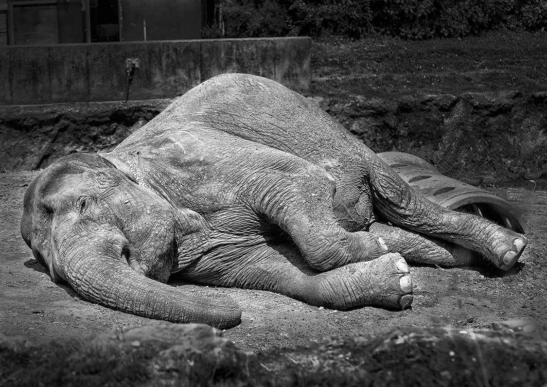 Category C highly commended - Asian elephant by William Allen