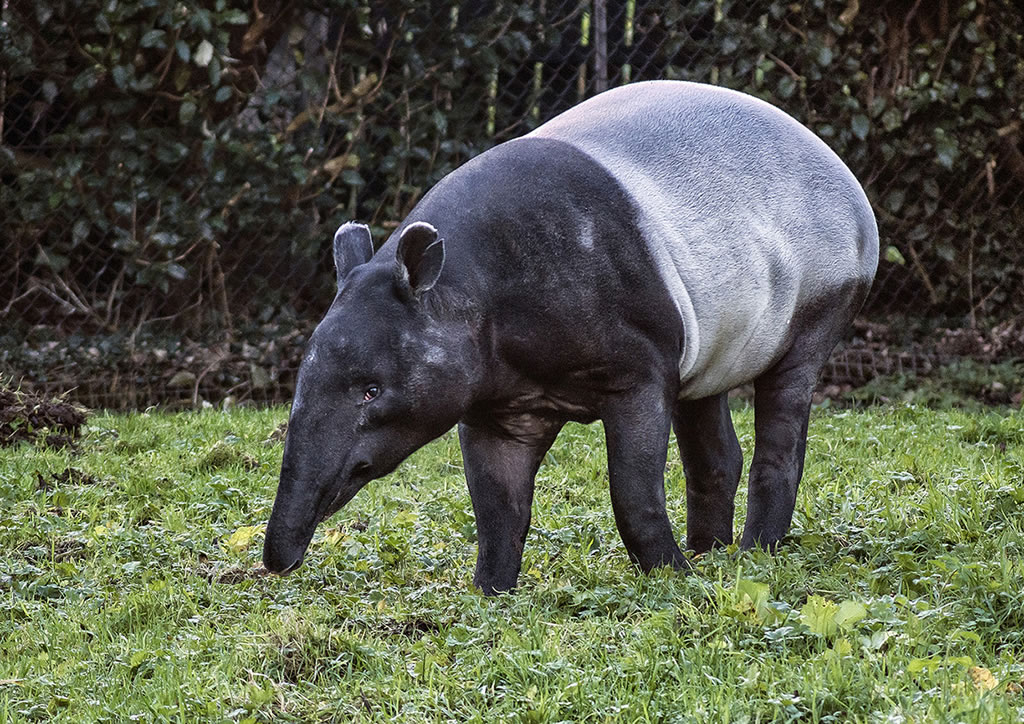 Category E (best picture taken by an under 16) highly commended - Malayan tapir by Alexander Allen