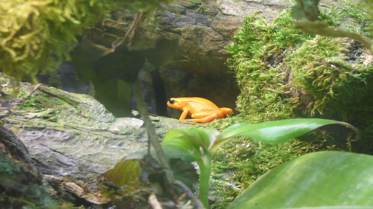 Category E (best picture taken by an under 16) highly commended - golden mantella by Joshua Willey