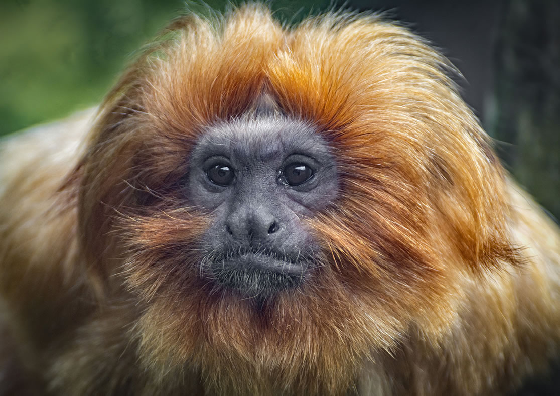 Category F (best picture of our primate heroes) 1st prize - golden lion tamarin by William Allen