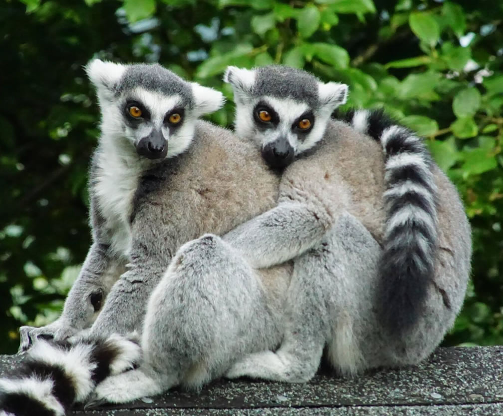 Category F (best picture of our primate heroes) 2nd prize - ring-tailed lemurs by Ralph McCullagh