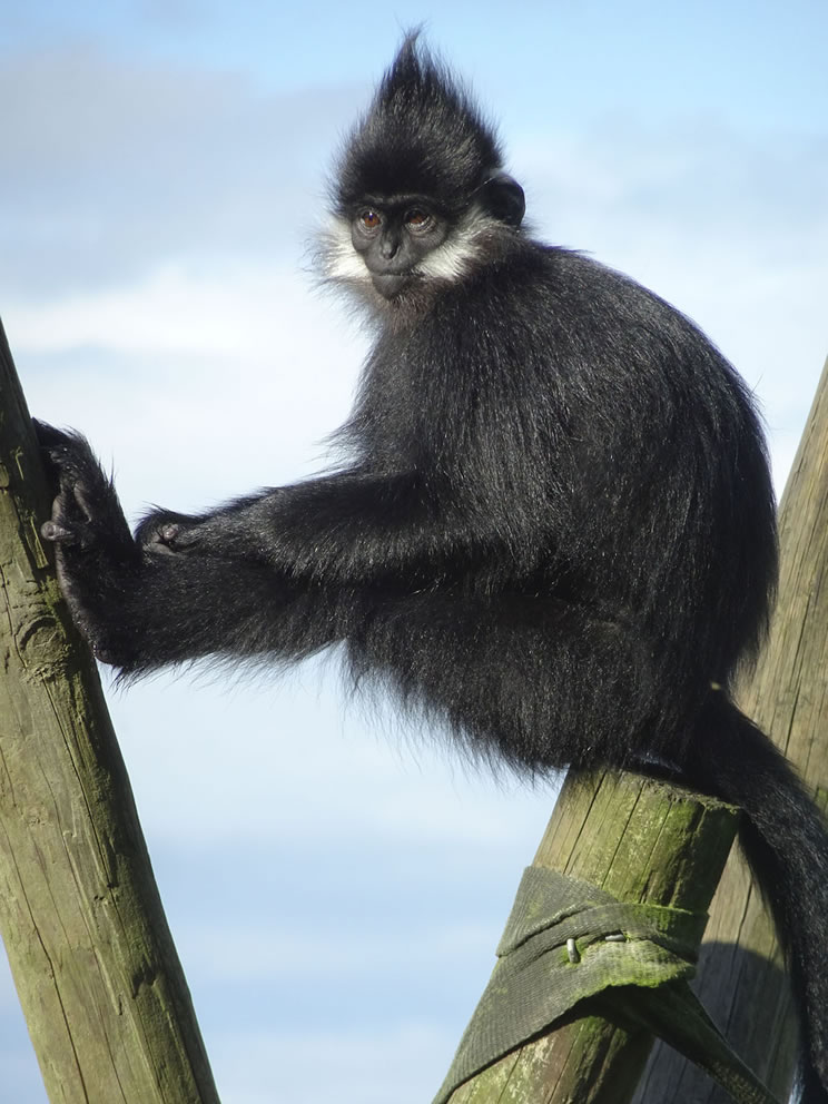 Category F (best picture of our primate heroes) 3rd prize - Francois langur by Andrea Martin