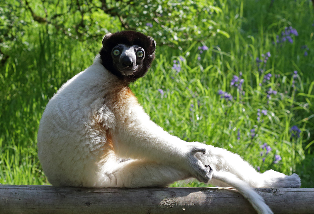 Category F (best picture of our primate heroes) highly commended - crowned sifaka by Marina Kulakova