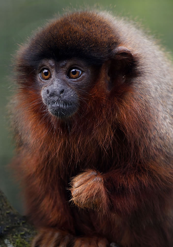Category B 2nd prize - red titi monkey by Mervyn Marshall