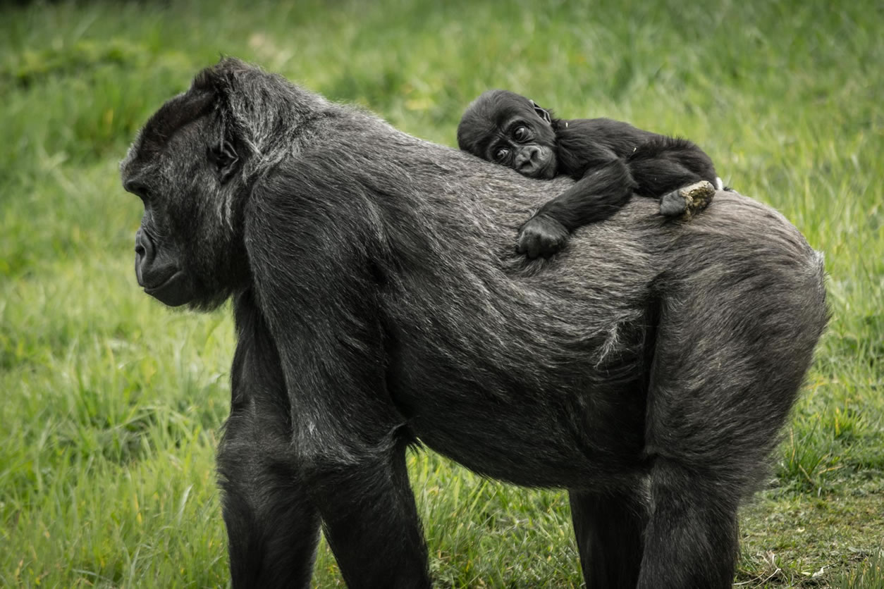 Category B highly commended - Western lowland gorilla by Chris McSherry